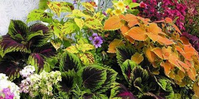 Co pěstovat na severním balkóně, aby kvetl od jara až do podzimu