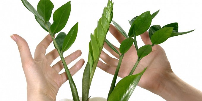 Zamiokulkas, pepřinec a další pokojové rostliny, které snesou i stín