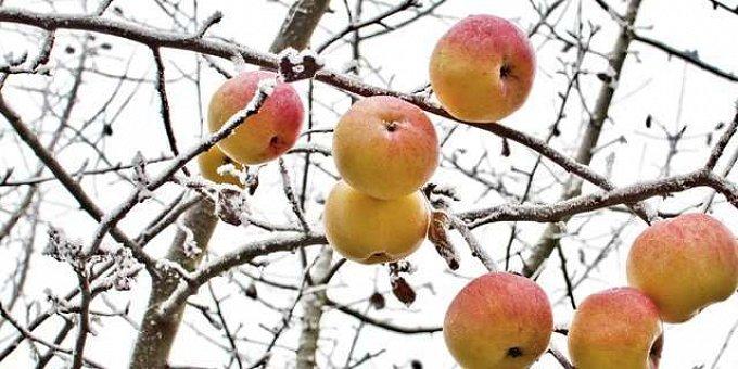 Ani v lednu sadař nezahálí. Jak pečovat o ovocné stromy v zimě?