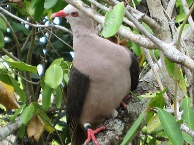 Vzácný růžový holub
