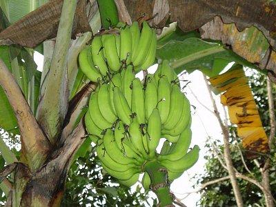 banány (nahrál: admin)