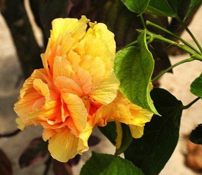 Flora (nahrál: emiliana)