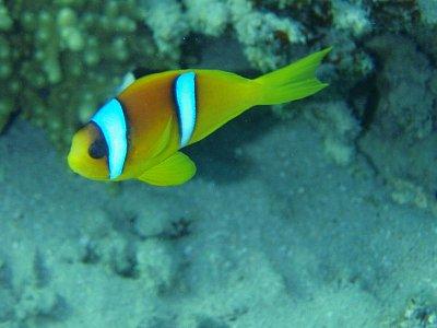 Klaun dvoupruhý - Podmořské korály a ryby