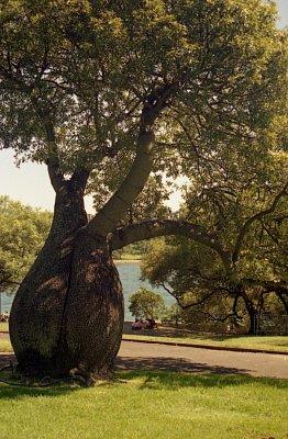 Bottle Tree - Tento strom se vyskytuje v Queenslandu, jeho semena  a kořenyí Aborigini jedí. Snímek je pořízen v Botanické zahradě (nahrál: Luboš)
