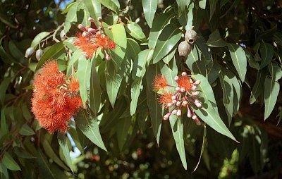 Parndana - Květy stromu Red flavoured gum tree v bližším záběru (nahrál: Luboš)